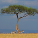 Zebras and tree in grassland - PhotoDune Item for Sale