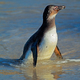 African penguin in shallow water - PhotoDune Item for Sale