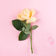 Beautiful single beige rose isolated on pink background, flat lay copy space - PhotoDune Item for Sale