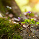 Close up photo of a violet flower in the spring forest - PhotoDune Item for Sale