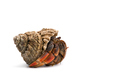 The hermit crab isolated on white background - PhotoDune Item for Sale