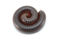 centipede millipede isolated on white background - PhotoDune Item for Sale