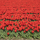 Traditional Dutch tulip field - PhotoDune Item for Sale