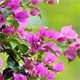 Bougainvillea And Green Background - VideoHive Item for Sale