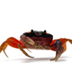 Halloween Moon Crab isolated on white background - PhotoDune Item for Sale