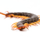 centipede isolated on white background - PhotoDune Item for Sale