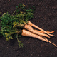 Organic parsley growing concept with freshly harvested root - PhotoDune Item for Sale
