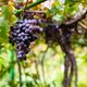 Organic Bunches of Grapes for Wine Production Growing At Vineyard - PhotoDune Item for Sale
