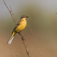 yellow wagtail warble - PhotoDune Item for Sale