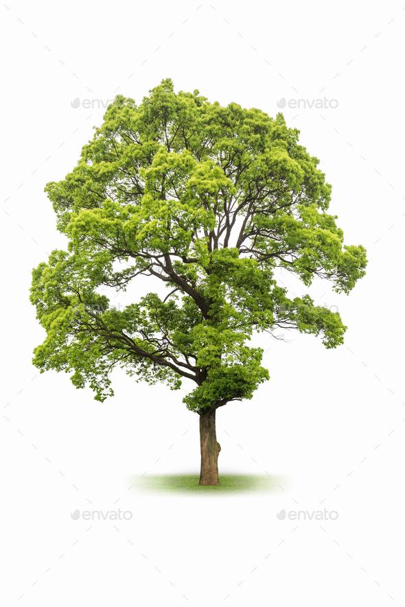 large evergreen tree isolated on white  - Stock Photo - Images