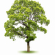 large evergreen tree isolated on white  - PhotoDune Item for Sale