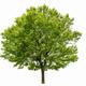 triangle maple tree - PhotoDune Item for Sale