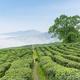 tea plantation in cloud and mist - PhotoDune Item for Sale