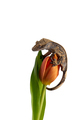 Crested gecko on a Flower isolated on white background - PhotoDune Item for Sale