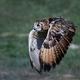 Eurasian eagle-owl (Bubo bubo) - PhotoDune Item for Sale