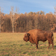 european bison, Romania - PhotoDune Item for Sale