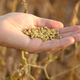 Harvest ready soy beans in human hand on dry pods background eve - PhotoDune Item for Sale