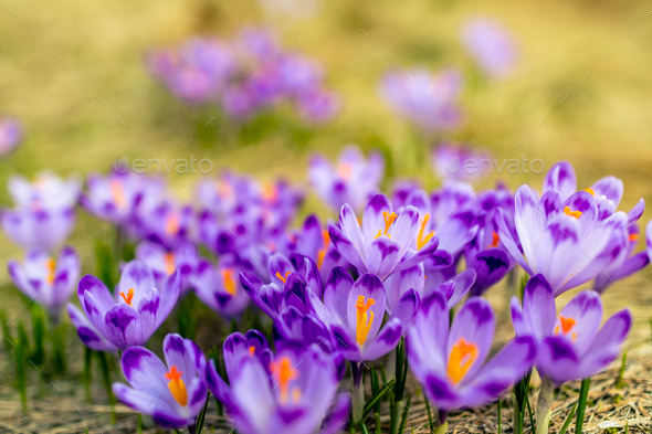 Crocus closeup over green grass, flowers landscape - Stock Photo - Images
