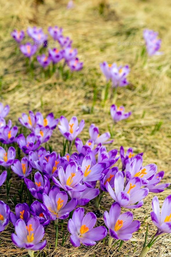 Crocus closeup over green grass, flowers landscape - Stock Photo - Images
