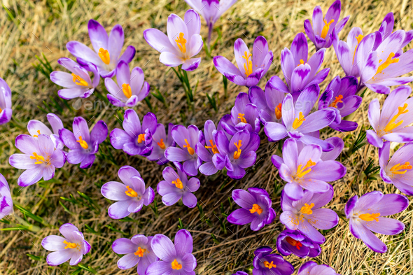 Crocus closeup from above, purple flowers background - Stock Photo - Images