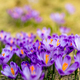 Crocus closeup over green grass, flowers landscape - PhotoDune Item for Sale