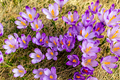 Crocus closeup from above, purple flowers background - PhotoDune Item for Sale