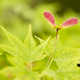 Red winged seeds of japanese maple tree - PhotoDune Item for Sale