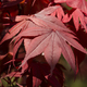 Red leaves of japanese maple tree - PhotoDune Item for Sale