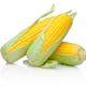 Three corn cob isolated on white background - PhotoDune Item for Sale