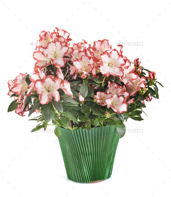 Rhododendron In Pot.Rhododendron In Pot