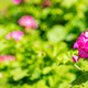 Pink color geranium flower and leaves against blur green nature  background. Closeup view - PhotoDune Item for Sale