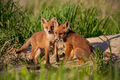 Red fox, vulpes vulpes, small young cubs near den playing - PhotoDune Item for Sale