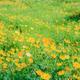 Cosmos in garden - PhotoDune Item for Sale