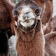 Close up funny camel face. Scenery with domestic animals - PhotoDune Item for Sale