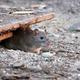 Brown rat (Rattus norvegicus) - PhotoDune Item for Sale