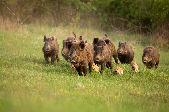 Group of wild boars, sus scrofa, running in spring nature - Stock Photo - Images