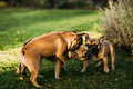 Three happy french bulldogs playing in the grass - PhotoDune Item for Sale