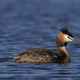 Great crested grebe (Podiceps cristatus) - PhotoDune Item for Sale