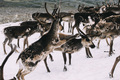 Norwegian reindeer fighting on a snow patch in the mountains - PhotoDune Item for Sale