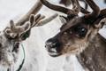 Portrait of Norwegian reindeer - PhotoDune Item for Sale
