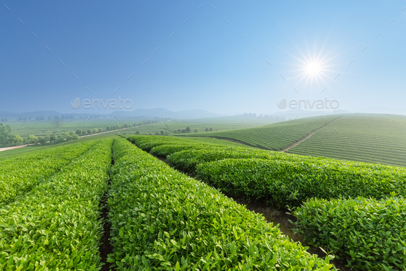 fresh tea plantation in morning - Stock Photo - Images