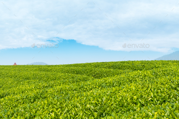 tea garden closeup - Stock Photo - Images