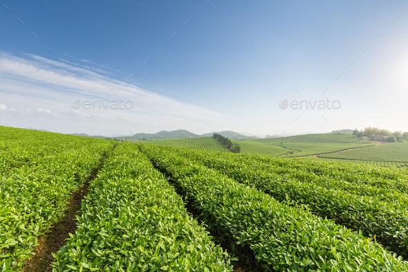 beautiful tea plantation in sunny morning - Stock Photo - Images