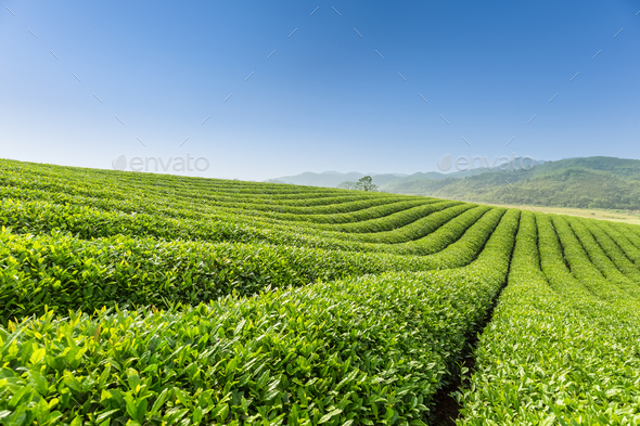 beautiful tea plantation scenery - Stock Photo - Images