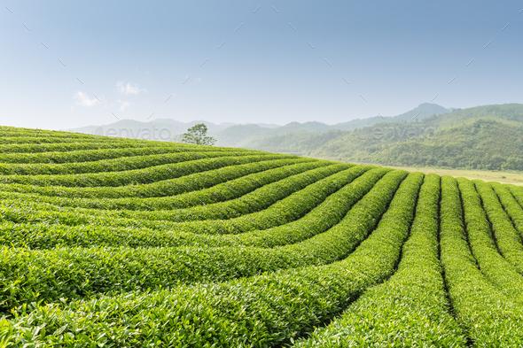 beautiful tea garden - Stock Photo - Images