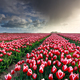 rainy cloud over beautiful tulip field - PhotoDune Item for Sale