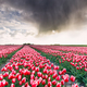 shower rain cloud over tulip field - PhotoDune Item for Sale