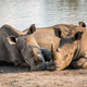 White rhinos laying together by the water. - PhotoDune Item for Sale