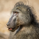 Side profile of a Chacma baboon. - PhotoDune Item for Sale