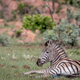 Zebra laying down in the grass. - PhotoDune Item for Sale